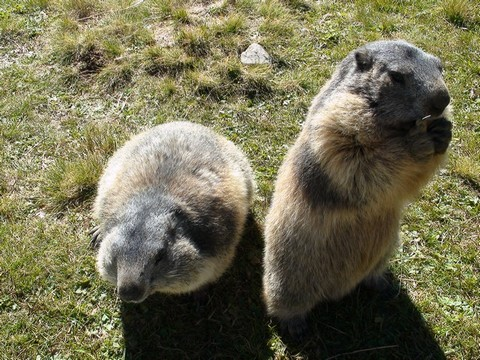 2 marmottes